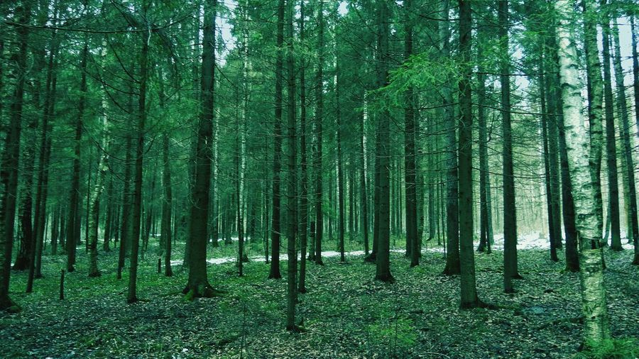 Tree Nature Forest Growth Beauty In Nature No People Tree Trunk Outdoors Nature Cold Temperature EyeEmNewHere Green Color Trees Road