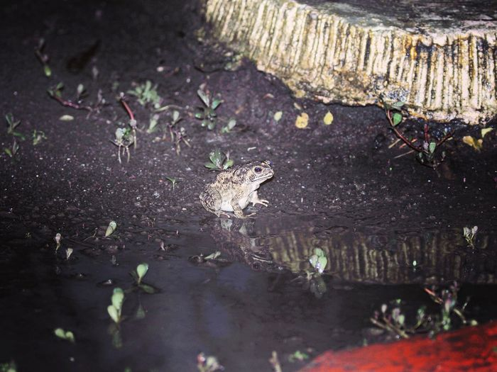 Outdoors Frog After Rain