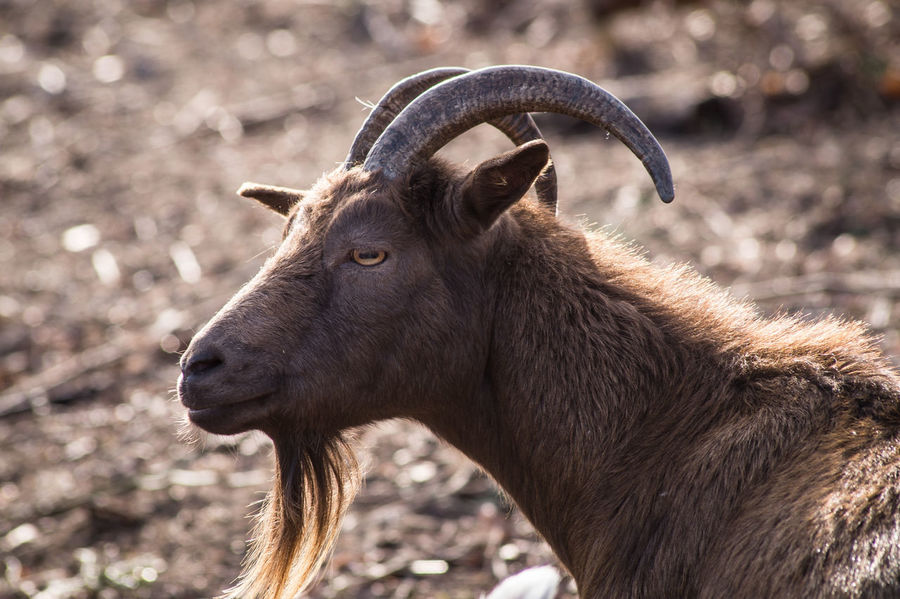 portrait mode Farm Goat Animal Portrait Animal Themes Animal Wildlife Close-up Day Field Focus On Foreground Goat Head Mammal Nature No People One Animal Outdoors Portait Photography Portrait