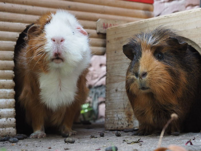 Guinea Pig Domestic Animals Front View Pets Two