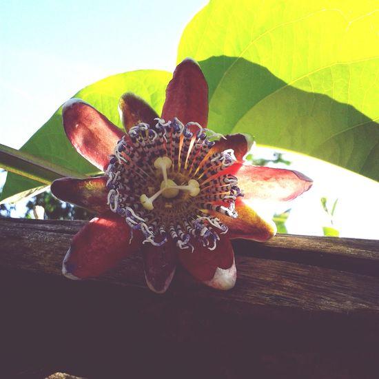 flor de maracujá First Eyeem Photo Blackbird