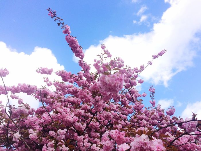 Low angle view of pink flowers blooming on tree against sky