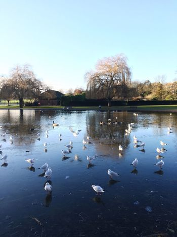 Frozenlake Bird Animals In The Wild Seagull Nature Swimming Lake Water Animal Themes Reflection Tree No People Outdoors Flock Of Birds Beauty In Nature Day Swan Floating On Water Water Bird Sky