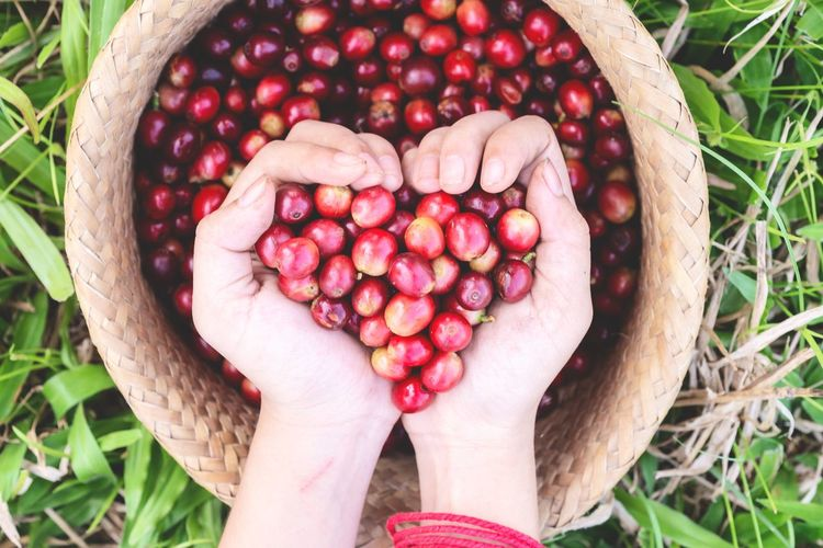 red cherry coffee bean in hands EyeEmNewHere Bean Fresh Holding Red Cafeine Arabica Coffee Cherry Berry Drink Human Hand Fruit Farmer Agriculture Rural Scene Red Basket Women High Angle View Harvesting Picking Organic Farm Gardening Cherry Farm Worker Farmland Plantation First Eyeem Photo
