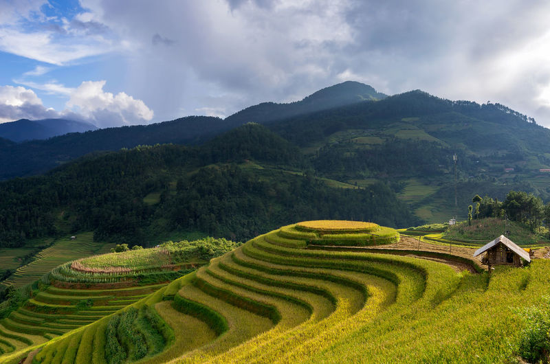 Rice fields on terraced of Mu Cang Chai, YenBai, Vietnam. Rice fields prepare the harvest at Northwest Vietnam. Vietnam Chai Rice Cang Mu Yênbài Field Harvest Agriculture ASIA Nature Farm Green Travel Landscape Terrace Plant Bali Asian  Fields Mountain Land Valley Sapa Food Curve Rough Earth