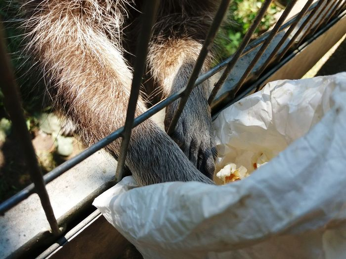 Detail of the legs of the raccoon that takes popcorn.