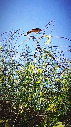 This Shot was taken right before this Crazy Mocking Bird swooped down at me, Apparently photo shy, LOL 😂 West Wetlands, Yuma, AZ Bird Photography IPhone Photography Mocking Bird Plant Sky Nature Day Tree Clear Sky Outdoors Animal Beauty In Nature Sunlight Animal Themes