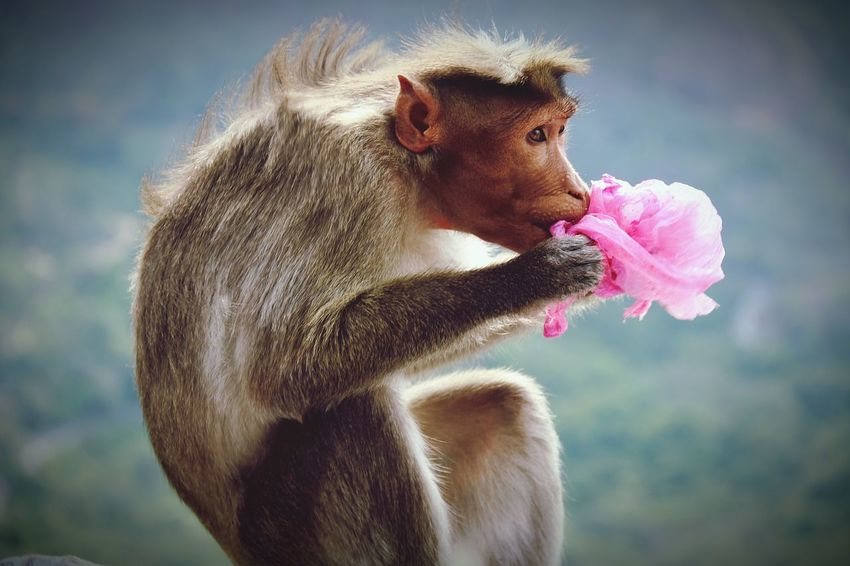 One Animal Animal Wildlife Animal Monkey Pink Color Mammal Animals In The Wild Baboon No People Outdoors Day Eating Close-up First Eyeem Photo Full Frame NoEditNoFilter Backgrounds Wallpaper Artistic Expression Selective Focus NaturePlasticwaste Endanger Harmful Substances Nature EyeEmNewHere The Week On EyeEm End Plastic Pollution Plastic Environment - LIMEX IMAGINE The Still Life Photographer - 2018 EyeEm Awards