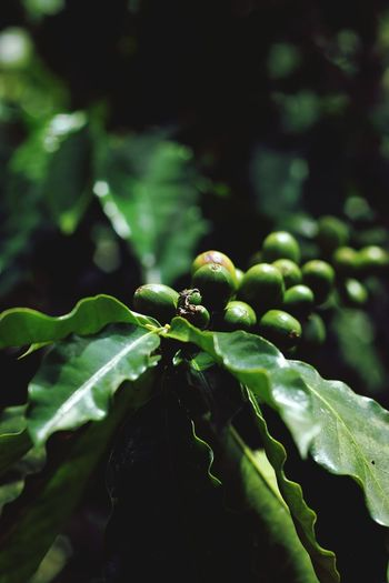 Leaf Green Color No People Nature Close-up Beauty In Nature Freshness Coffee Coffeeplant
