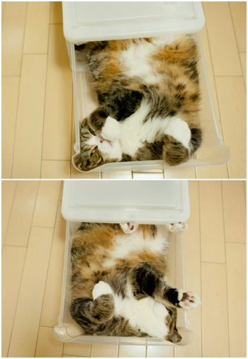 Cat Maru (Cat In The Box) Scottish Fold Kitten Adorable