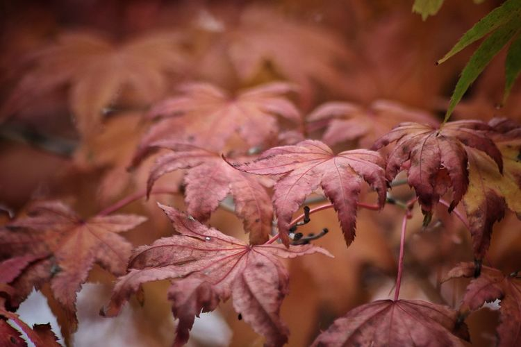 Hojas Otoño Nature Beauty In Nature Autumn Trees Leaves🌿 Red