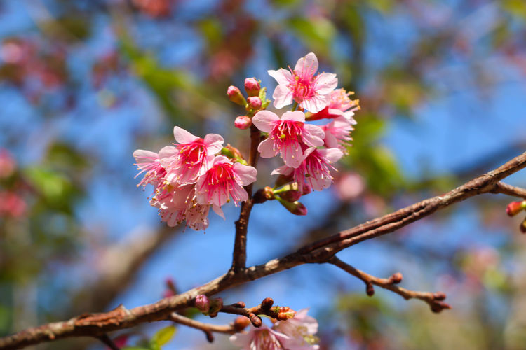 Close-up of cherry blossoms on branch