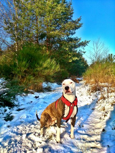 Dog Pets Outdoors Dogwalking Animal Themes Winter Killer Killerdog Pitbull Cute Beautiful Weather