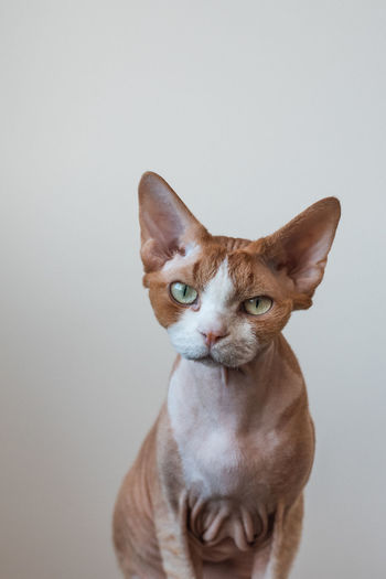 Portrait of cat against white background