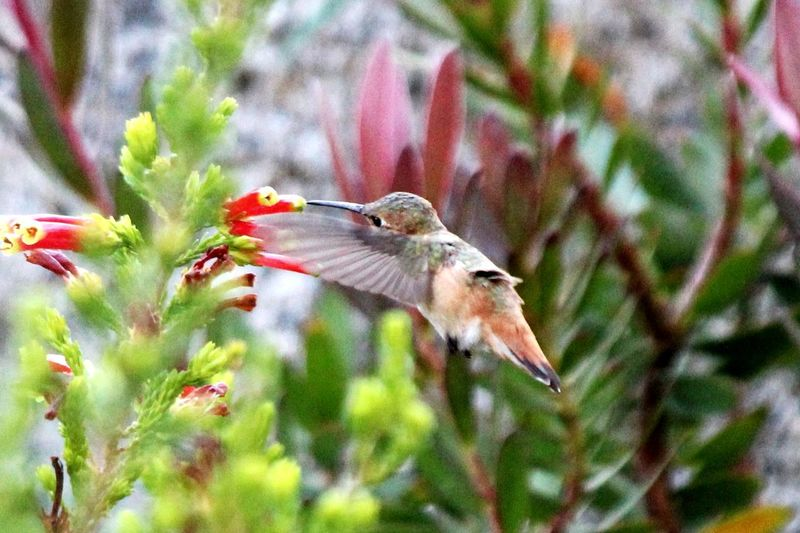 Snacking Hummus Eating Bird Spread Wings Flower Tree Flying Red Hummingbird Animal Themes Close-up Plant Pollination