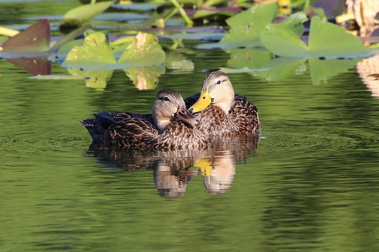Two ducks swimming in lake