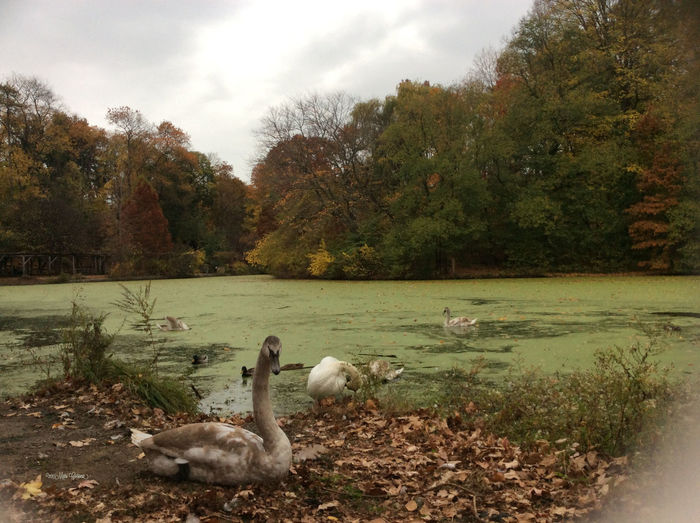 NYC Photography Nature IPhoneography EyeEm Nature Lover Autumn Fall, Swans, Parks, Prospect Park, Fall Colors lakes