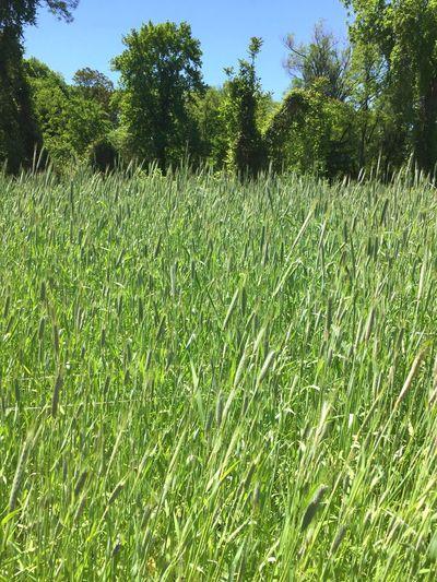Wholewheat Farming Taking Photos Traveling Planting