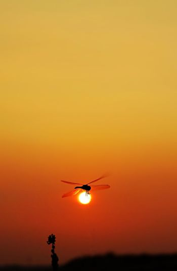 Dragonfly in mid-air against orange sky during sunset