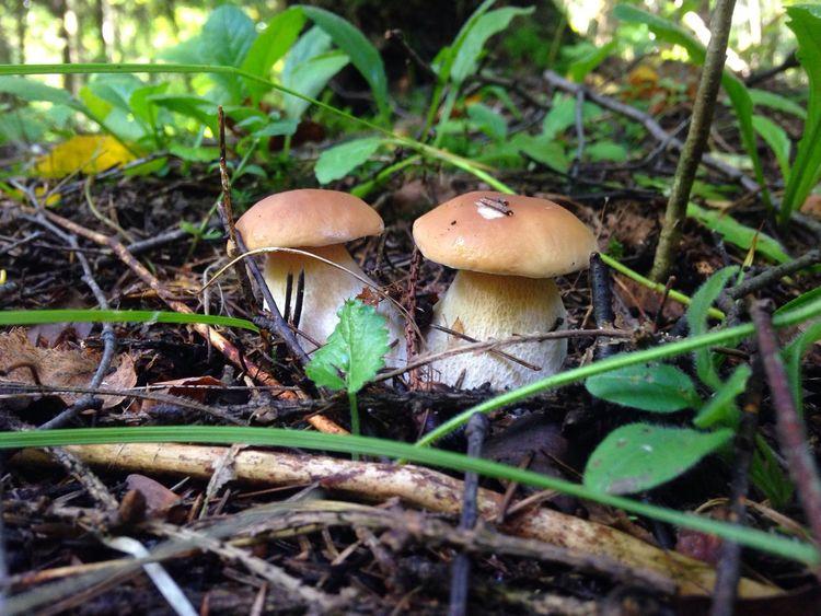 Mushroom Mushrooms Mushroom Hunting Outdoors No People Boletus Nature Forest Forest Photography Summertime Summer Mushroom_pictures Grass