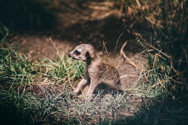 Meerkat on land