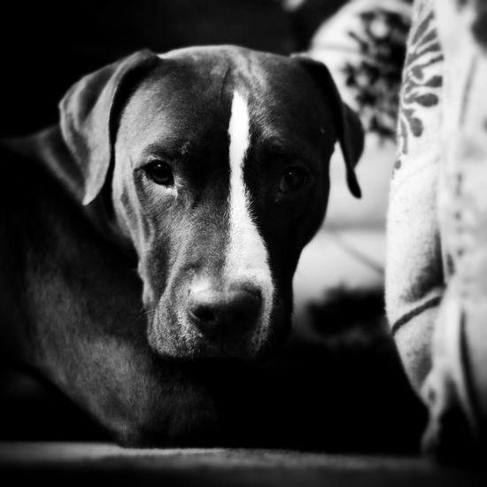 Stella Stare Black And White Monochrome Dog Pitbull Fujifilm Fujifilm Xt1 Snapseed