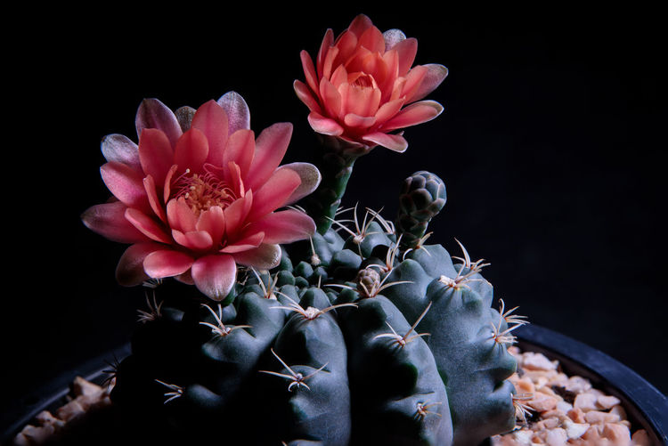 Close-up of pink flowering plant against black background