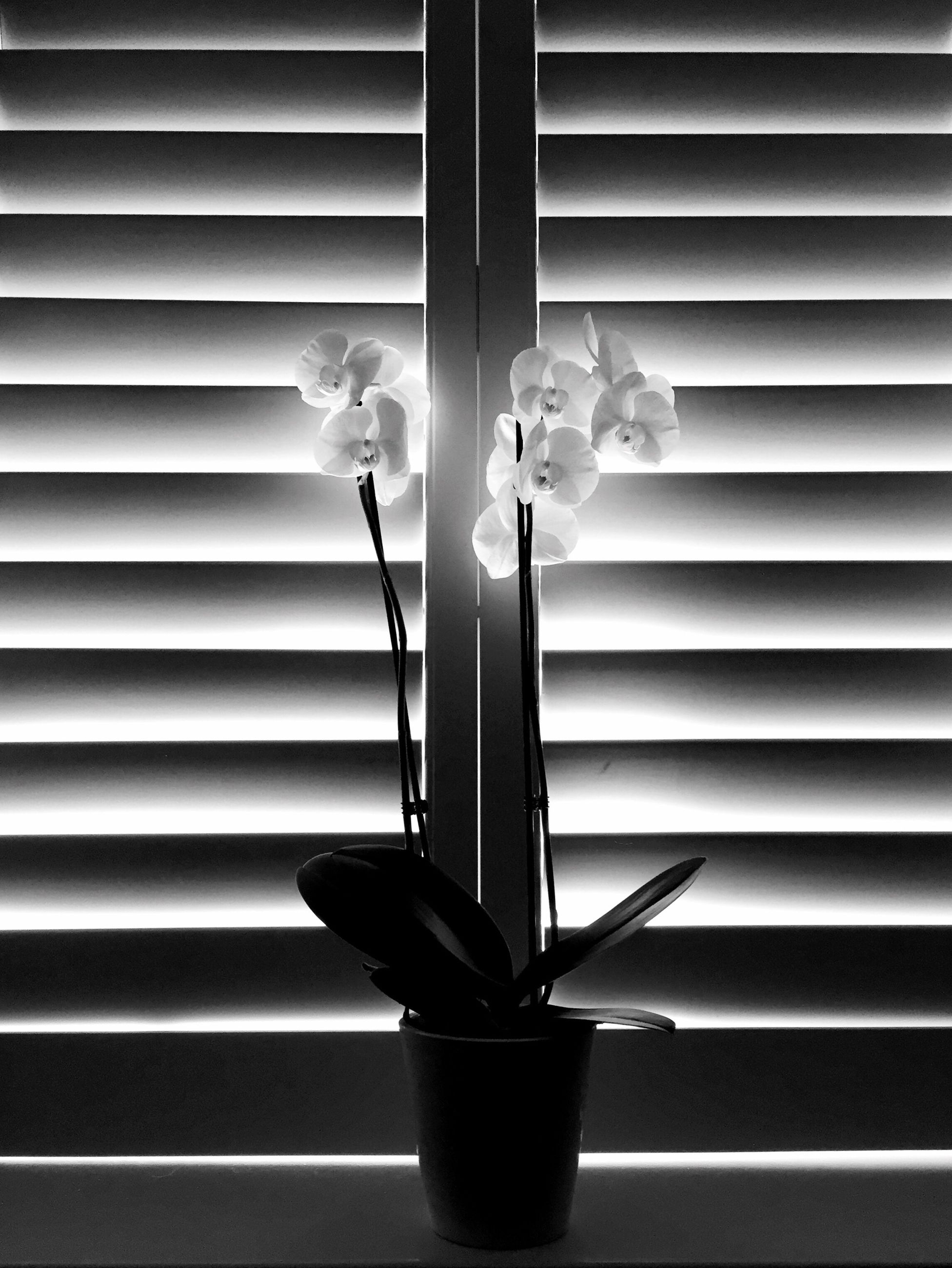 flower, vase, window sill, fragility, growth, freshness, plant, close-up, petal, flower head, decoration, simplicity, day, no people, blinds, stem, nature