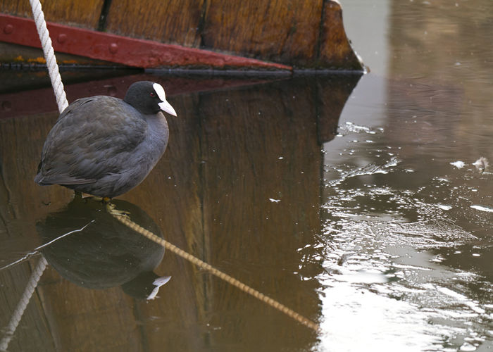 Coot on a rope in the port of Spakenburg, Holland Coot Coot Bird Harbour Nature On Your Doorstep Rope Animal Animal Themes Bird Boats Day Dutch Focus On Foreground Lake Nature No People One Animal Outdoors Perching Port Reflection Spakenburg Vertebrate Water Waterfront Wood - Material