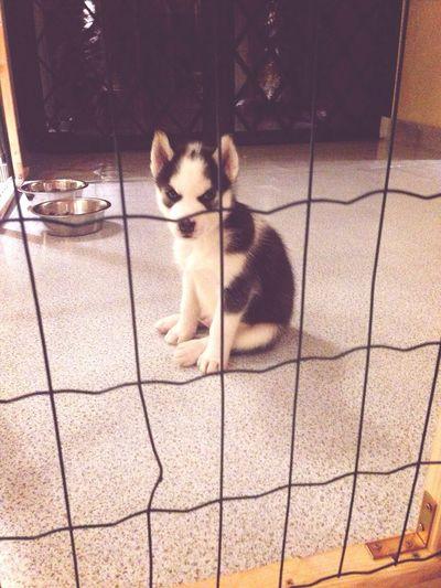 Loveyou♥ My Puppy Siberianhusky