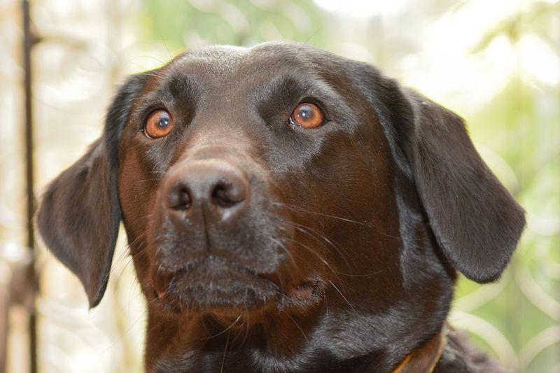 Close-up of black labrador