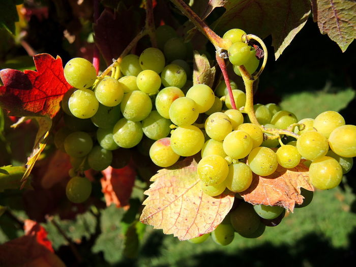 Grapevine Green Grapes On The Vine Grapes 🍇 Red Color Vineyard Wine Wine Tasting, Wine, Red, Flavour, Taste, Glass Winery Winery View