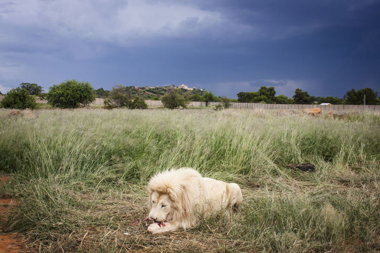 White lion eating prey on grassy field against sky