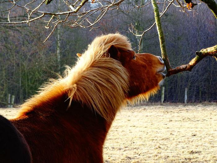 Horse Nibbles On Tree Horse Icelandic Horse Animal Themes One Animal Mammal No People Tree Day Domestic Animals Outdoors Nature