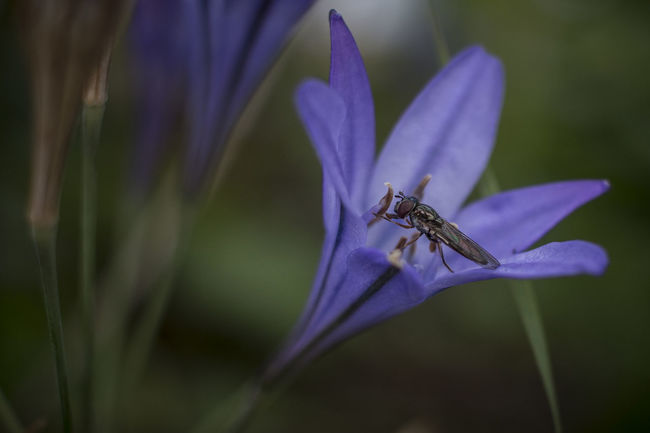 A small fly on one of the garden flowers Beauty In Nature Blooming Botany Close-up Day Flower Flower Head Focus On Foreground Fragility Freshness Growth In Bloom Insect Nature No People Outdoors Petal Plant Pollen Pollination Purple Selective Focus Stem Wildlife