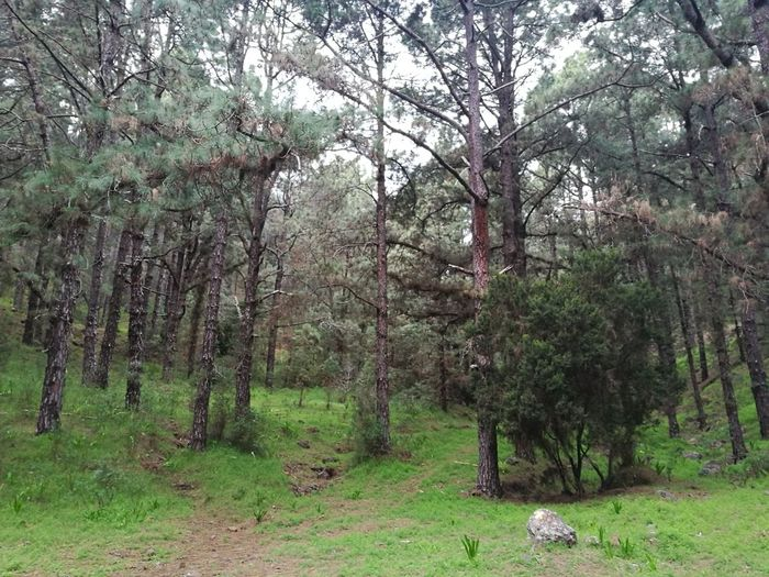 Las Raíces Tenerife Tree Nature Green Color No People Beauty In Nature Forest