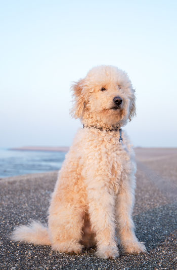 Animal Animal Themes Beach Day Dog Dogs Doodle Goldendoodle Happy Labradoodle Nature No People One Animal Pet Pets Poodle Portrait Puppy Puppy Love Retriever Sea Sitting Sky Water