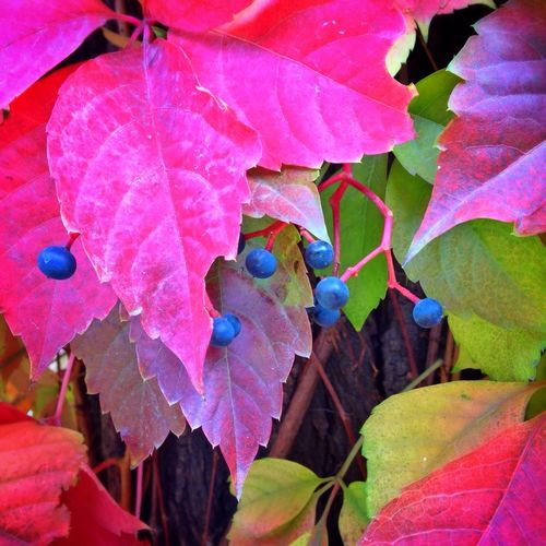 National holiday in Datong City. 5. Datong City Shanxi Province Maple Berry Autumn Contrast