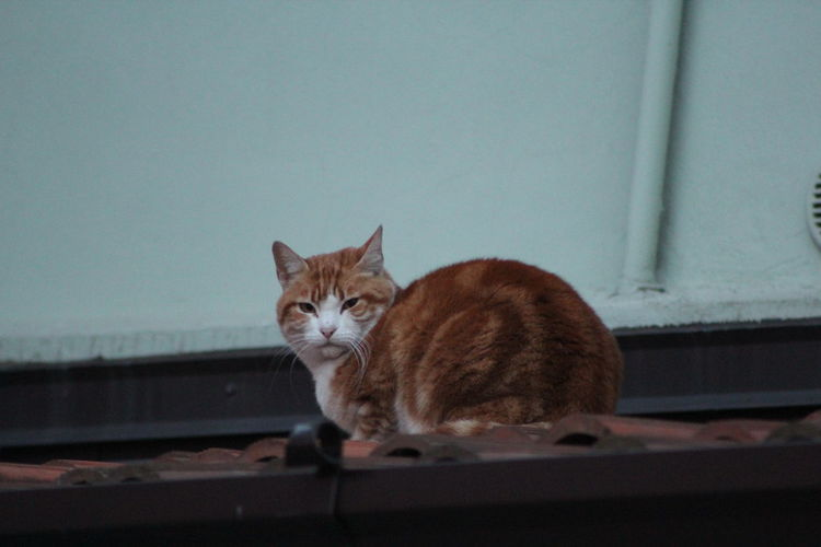Animal Themes Day Domestic Animals Domestic Cat Feline Looking At Camera Mammal No People One Animal Outdoors Pets Portrait Senior Cat Orange Cat On The Roof