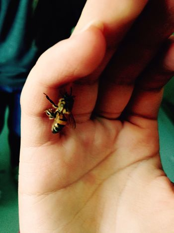 Insect Human Hand Close-up Animal Wildlife Bee Harmless Touch Safe No Fear Honey Honey Bee Yellow Black