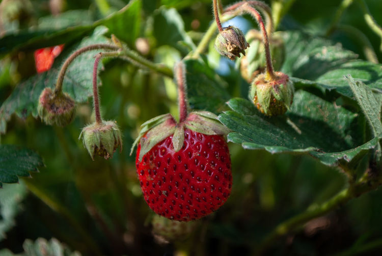 Close-up of strawberry hanging on plant