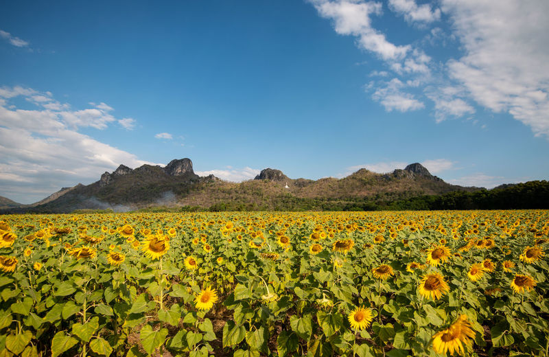 Sun flowers field Flower Sun Flower Blue Sky Yellow Beauty In Nature Sky Flowering Plant Plant Growth Nature Field Land Cloud - Sky Freshness Scenics - Nature Tranquil Scene Tranquility Day Landscape No People Mountain Environment Outdoors Flower Head Springtime Flowerbed