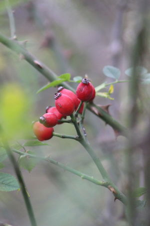 Kuşburnu Kızıl Canonphotography Canon_photos EyeEmNewHere Eye4photography  EyeEm Gallery Fotografheryerde Fotografia Red Fruit Insect No People Leaf Plant Nature Close-up Animals In The Wild Day Defocused Animal Themes