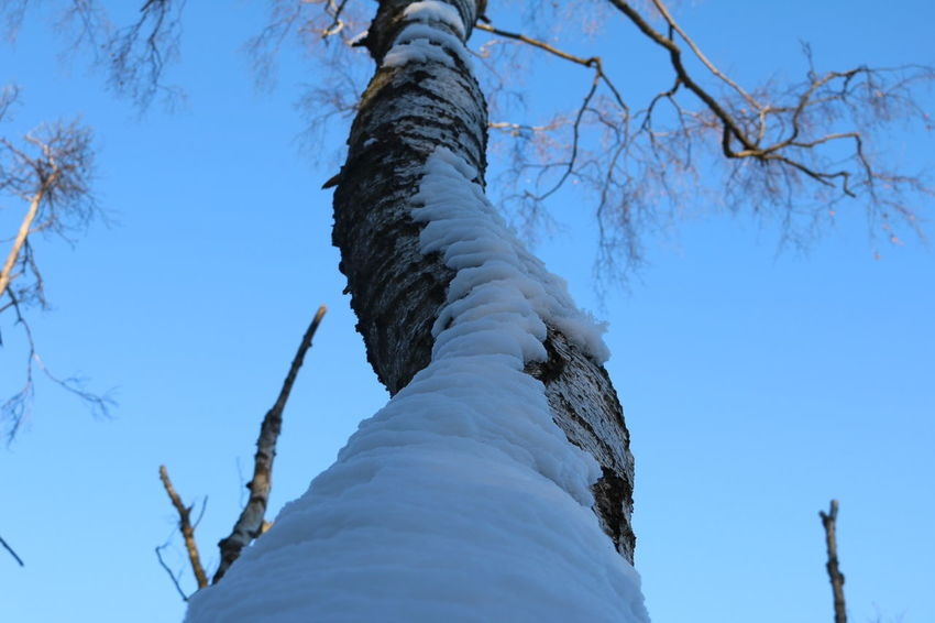 Low Angle View Tree Blue Tree Trunk Nature Sky Directly Below Beauty In Nature Branch Winter Snow Slanted Outdoors Close-up Cold Temperature Day No People