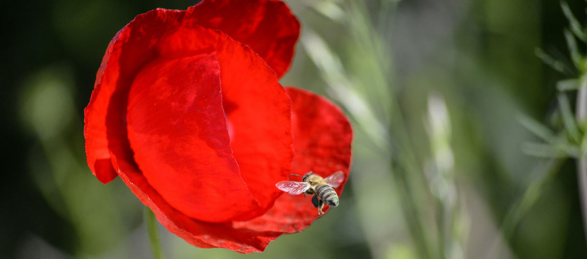 bee on a poppy flower Honey Bee Apicultura Bee Flowering Plant Plant Flower Close-up Beauty In Nature Fragility Vulnerability  Petal Freshness Flower Head No People Poppy Poppy Flowers Pollen Pollen On Flowers APIculture Agriculture Honey Bees And Flowers Flying Pistil Stamen