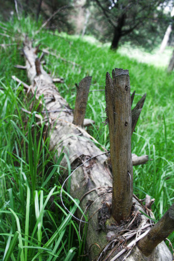 Se murió mi amigo Beauty In Nature Close-up Day Field Focus On Foreground Forest Grass Grassy Green Green Color Growing Growth Landscape Nature No People Outdoors Plant Selective Focus Tranquility Tree Trunk Twig Wood - Material Wooden Wooden Post
