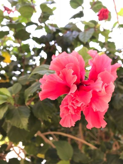 Hibiscus Botanical Flora Aruba Flower Beauty In Nature Nature Growth Petal Plant No People Blooming Pink Color Close-up Flower Head