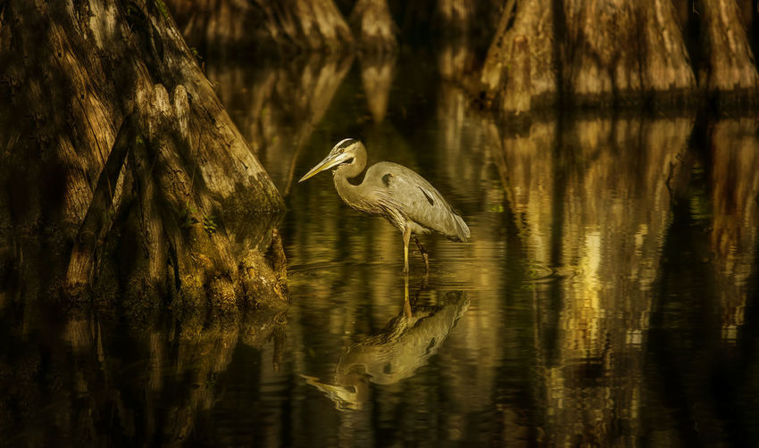 Gray Heron In River At Forest During Sunset