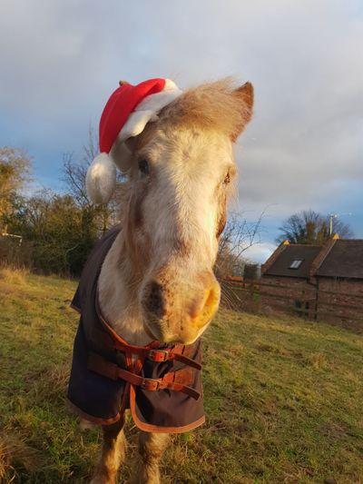 Pony Shetland