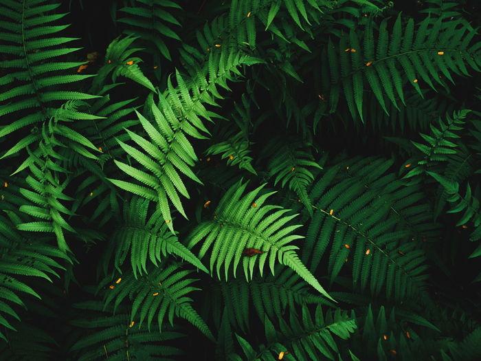 Fern leaves on dark background in jungle. dense dark green